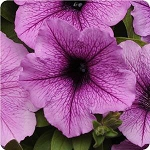 Wave Petunia - Easy Wave Plum Vein